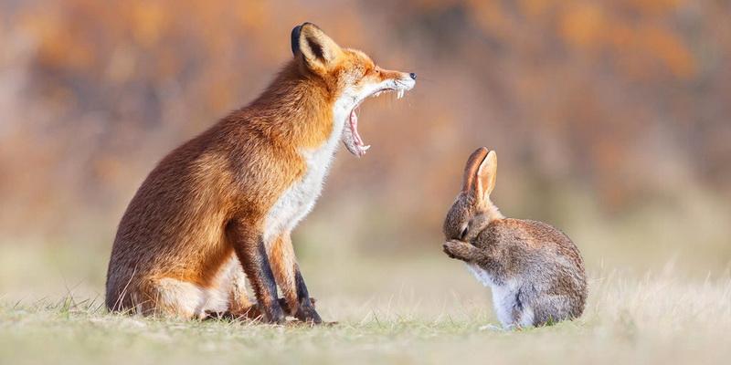 Притча: Лисиця на посаді Зайця