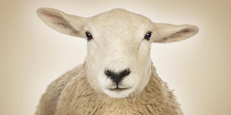 Притча: Вівці, гроші і людська дурість
